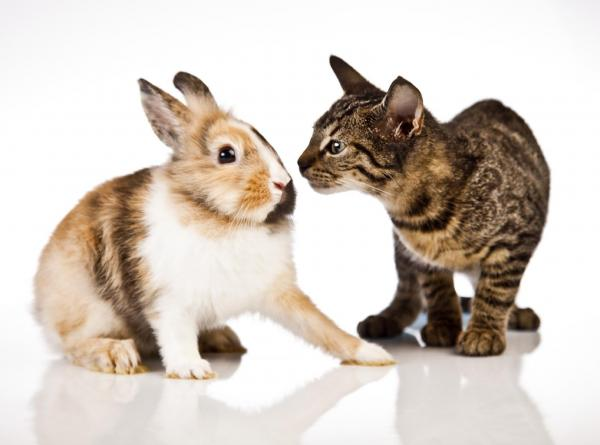 img_can_a_cat_and_a_rabbit_live_together_78_paso_2_600